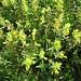 Rhinantus alectorolophus (Scop.) Pollich<br />Orobanchaceae<br /><br />Cresta di gallo comune<br />Rhinante velu<br />Zottiger Klappertopf, Beaarther Klappertopf