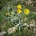 Hieracium villosum Jacq.<br />Asteraceae<br /><br />Sparviere del calcare<br />Epervière velue<br />Zottiges Habichtskraut