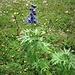 Delphinium elatum L.<br />Ranunculaceae<br /><br />Speronella elevata, Delfinio<br />Dauphinelle élevée<br />Hoher Rittersporn