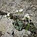 Saxifraga caesia L.<br />Saxifragaceae<br /><br />Sassifraga verdazzurra<br />Saxifrage bleuatre<br />Blaugrüner Steinbrech, Hechtblauer Steinbrech<br />