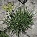 Bupleurum petraeum L.<br />Apiaceae<br /><br />Bupleuro delle rocce<br />Buplèvre<br />Hasenohren