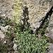 Saxifraga callosa Sm.<br />Saxifragaceae<br /><br />Sassifraga callosa<br />Saxifrage à feuilles en languette<br />Zungen-Steinbrech