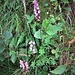 Dactylorhiza maculata (L.) Soo<br />Orchidaceae<br /><br />Orchide macchiata<br />Orchis Tacheté<br />Geflekte Fingerwurz