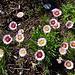 kleinen Margriten odere Gänseblümchen ähnlich - doch mit rötlichem Farbton