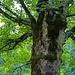 Der Baum verhindert eine besser Aussicht an der Wildsulzhütte, immerhin ein beeindruckendes Exemplar