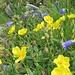 Sonnenröschen (Helianthemum) mit Scheuchzers Glockenblume (Campanula scheuchzeri)