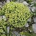 Steinbrech (Saxifraga muscoides?) am Gipfel des Kolms