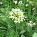 Allermannsharnisch (Allium victorialis)