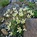 Moosartiger Steinbrech (Saxifraga bryoides)