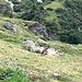 Hinten beim Stein lugt eine kleine Murmeltierfamilie nach dem Rechten