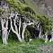 Vom Wetter gezeichnete Lebensbäume