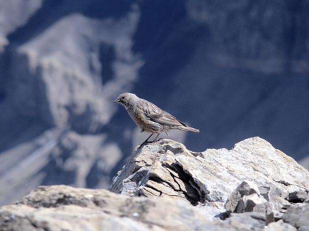 Eine Alpenbraunelle macht auf dem Gipfel des Oldenhorns ihre Aufwartung