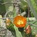 Fico d'India (Opuntia ficus-indica)