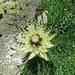 Alpen-Kratzdistel (Cirsium spinosissimum)