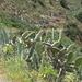 Agave e fico d'India (Opuntia ficus-indica)