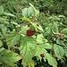 Rubus idaeus L.<br />Rosaceae<br /><br />Lampone, Frambos<br />Framboisier<br />Himbeere