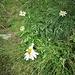 Leucanthemum vulgare Lam.<br />Asteraceae<br /><br />Margherita<br />Marguerite<br />Gewöhnliche Wiesen-Margerite<br />