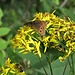 Solidago virgaurea L.<br />Asteraceae<br /><br />Verga d'oro comune<br />Solidage verge d'or<br />Echte Goldrute