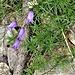 Campanula excisa Murith<br />Campanulaceae<br /><br />Campanula incisa<br />Campanule incisée<br />Ausgeschnittene Glockenblume
