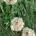 Tragopogon pratensis L.<br />Asteraceae<br /><br />Barba di becco pratense<br />Salsfis des prés<br />Wiesen-Bocksbart, Habermarch