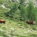 Vacche scozzesi all'Alpe Asinello.