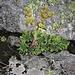 Sempervivum grandiflorum Haw.<br />Crassulaceae<br /><br />Semprevivo a fiori grandi<br />Joubarbe à grandes fleurs<br />Gaudins Hauswurz, Grossblütige Hauswurz