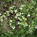 Euphrasia alpina Lam.<br />Orobanchaceae<br /><br />Eufrasia alpina<br />Euphraise des Alpes<br />Alpen-Augentrost