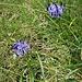 Phyteuma hemisphaericum L.<br />Campanulaceae<br /><br />Raponzolo alpino<br />Raiponce hémisphérique<br />Halbkugelige Rapunzel, Halbkugelige Teufelskralle