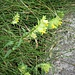 Rhinanthus glacialis Personnat<br />Orobanchaceae<br /><br />Cresta di gallo aristata<br />Rhinanthe aristé, Rhinanthe des glaciers<br />Grannen-Klappertopf