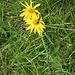 Arnica montana L.<br />Asteraceae<br /><br />Arnica <br />Arnica<br />Arnika, Wohlverleih