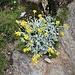 Senecio halleri Dandy<br />Asteraceae<br /><br />Senecione unifloro<br />Senécon de Haller<br />Hallers Greiskraut, Einköpfiges Kreuzkraut