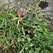 Trifolium alpinum L.<br />Fabaceae<br /><br />Trifoglio alpèino<br />Trèfle des Alpes<br />Alpen-Klee