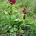 Gentiana purpurea L.<br />Gentianaceae<br /><br />Genziana porporina<br />Gentiane pourpre<br />Purpur-Enzian