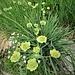 Bupleurum stellatum L.<br />Apiaceae<br /><br />Bupleuro stellato<br />Buplevre étoilé<br />Sternblütiges Hasenohr, Sterndolden_Hasenohr