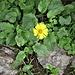 Doronicum clusii (All.) Tausch<br />Asteraceae<br /><br />Doronico del granito<br />Doronic calciguge<br />Clusius' Gämswurz