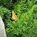 Cryptogramma crispa (L.) Hook<br />Pteridaceae<br /><br />Felcetta crespa<br />Cryptogramme crépu<br />Krauser Rolfarn