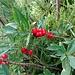 Die roten Früchte des Seidelbast leuchten aus dem Gebüsch