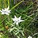 Auf dem steilen Grashang finden sich massenweise Alpen-Edelweiss (Leontopodium nivale).