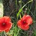 Mohnblüten am Wegesrand