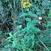 Lysimachia vulgare Aranno 24 07 2011