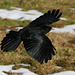 An alpine chough flying by (Alpendohle, Pyrrhocorax graculus)