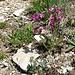 Im Abstieg vom Rifugio Vittorio Emanuele II - Auf den Bergwiesen am Wegrand blühen aktuell zahlreiche Blumen.
