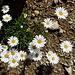 Im Abstieg vom Rifugio Vittorio Emanuele II - Wuchernde Blumen, in den Alpen. <br />Vielleicht sogar Alpenwucherblumen.