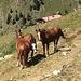 neugierige Pferde bei Creux du Ma