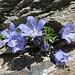 ... leitet zu weiteren der famosen Glockenblumen ...