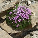 in der kargen Steinwelt blühen hübsche Blumenpolster