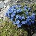 welch aussergewöhnliche Blumenpracht auf unserer heutigen Bergwanderung 3