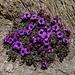 welch aussergewöhnliche Blumenpracht auf unserer heutigen Bergwanderung 1