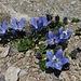 und nochmals eine liebliche Glockenblumengruppe