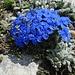 welch aussergewöhnliche Blumenpracht auf unserer heutigen Bergwanderung 2